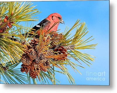 Metal Print featuring the photograph White-winged Crossbill by Debbie Stahre