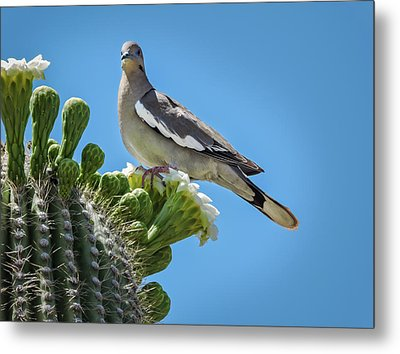 White Winged Dove On Cactus Flower Metal Print by Penny Lisowski