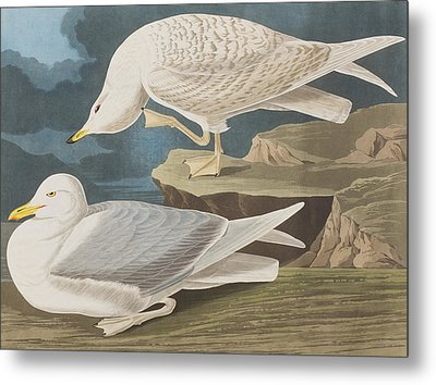 White-winged Silvery Gull Metal Print