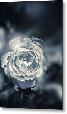 White Winter Rose Wilting In A Blue Gloomy Field Metal Print by Jorgo Photography - Wall Art Gallery