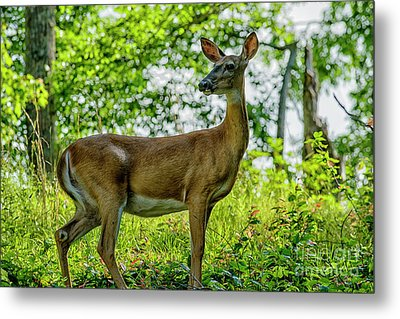 Metal Print featuring the photograph Whitetail Deer  by Thomas R Fletcher