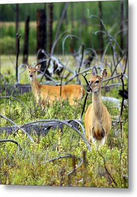 Whitetails Metal Print by Marty Koch