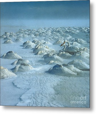 Whooper Swans In Snow Metal Print by Teiji Saga and Photo Researchers