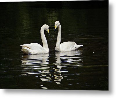 Metal Print featuring the photograph Whooper Swans by Sandy Keeton