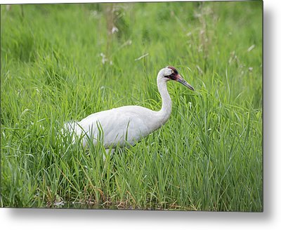 Whooping Crane 2017-2 Metal Print by Thomas Young