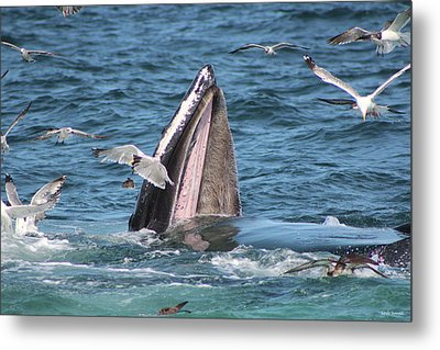 Wide Open Mouth Humpback Whale Metal Print