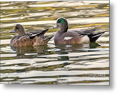 Wigeon Couple Metal Print by Kate Brown