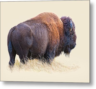 Wild And Wooly Metal Print