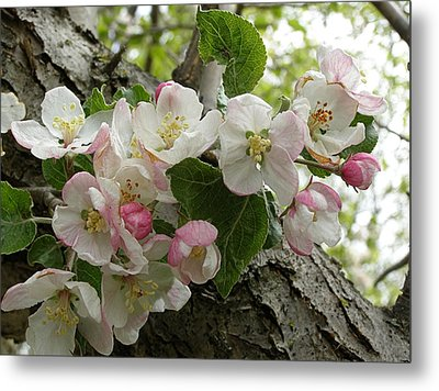Metal Print featuring the photograph Wild Apple Blossoms by Angie Rea
