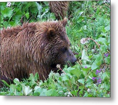 Wild Bear Eating Berries  Metal Print