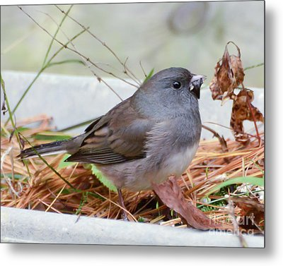 Metal Print featuring the photograph Wild Birds - Dark-eyed Junco by Kerri Farley
