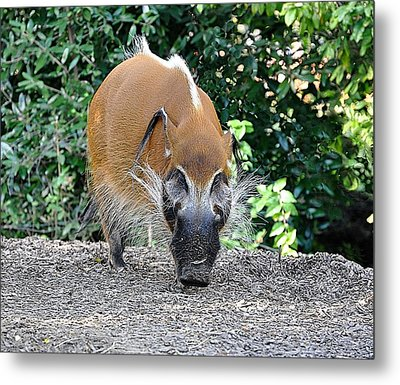Wild Boar Metal Print by Jan Amiss Photography