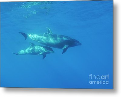 Wild Bottle-nosed Dolphin Mother And Calf Metal Print by Sami Sarkis