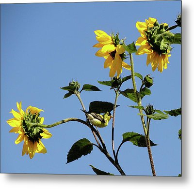 Wild Canary Sunflowers Metal Print by Shannon Grissom