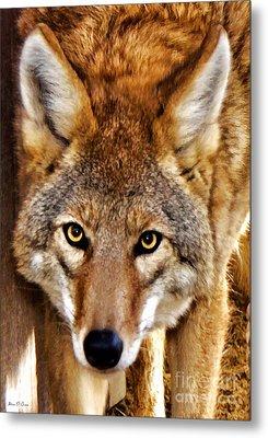 Wild Coyote Metal Print by Adam Olsen