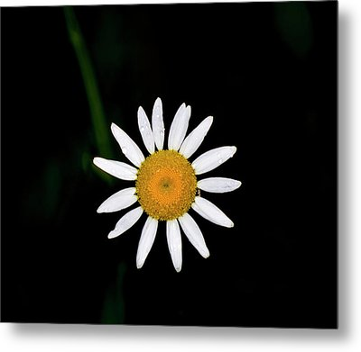 Metal Print featuring the digital art Wild Daisy by Chris Flees