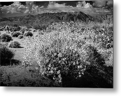 Metal Print featuring the photograph Wild Desert Flowers Blooming In Black And White In The Anza-borrego Desert State Park by Randall Nyhof