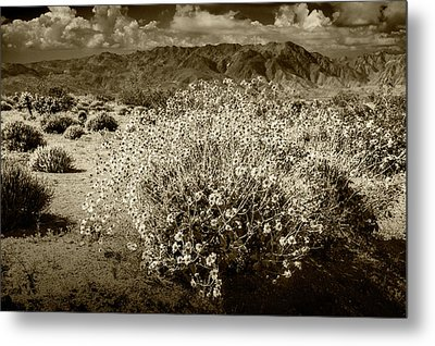 Metal Print featuring the photograph Wild Desert Flowers Blooming In Sepia Tone  by Randall Nyhof