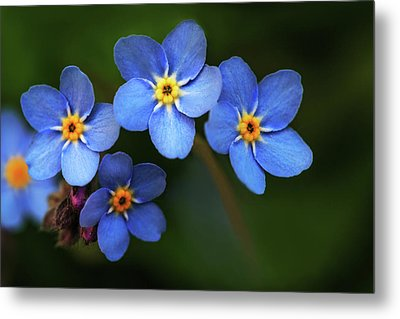 Wild Flower Forget-me-not Since The Middle Ages Symbolizes The Celestial Eye And Reminds You Of God Metal Print
