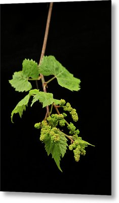 Wild Grapes 1995 Metal Print by Michael Peychich