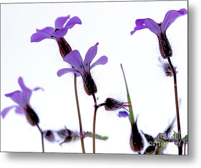 Wild Knotted Cranesbill Metal Print