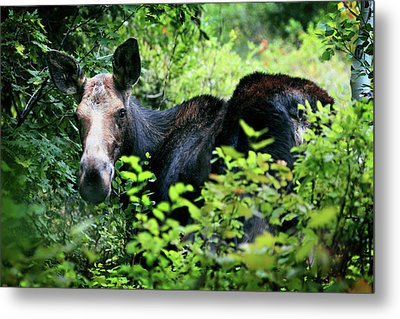 Wild Moose Metal Print by Dan Pearce
