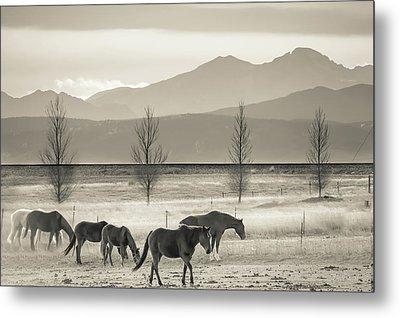 Wild Mountain Horses - Black And White Metal Print