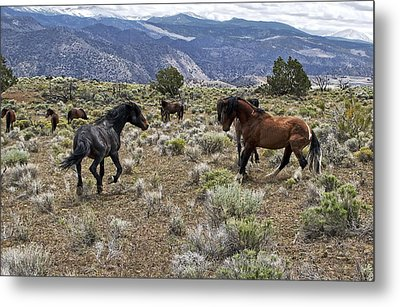 Wild Mustang Stallions Fighting Metal Print