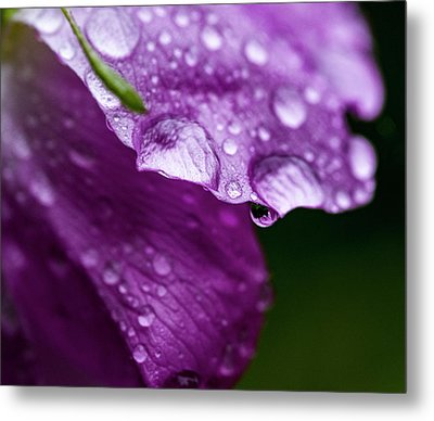 Metal Print featuring the photograph Wild Rose Droplet by Darcy Michaelchuk