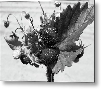 Wild Strawberry, Black And White Metal Print by Nat Air Craft