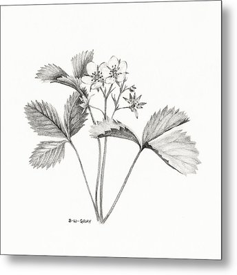 Wild Strawberry Drawing Metal Print