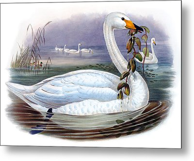 Wild Swan Antique Bird Print The Birds Of Great Britain Metal Print by Orchard Arts