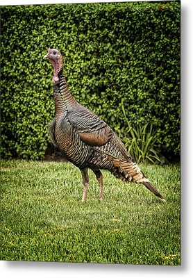 Wild Turkey Metal Print by Kelley King