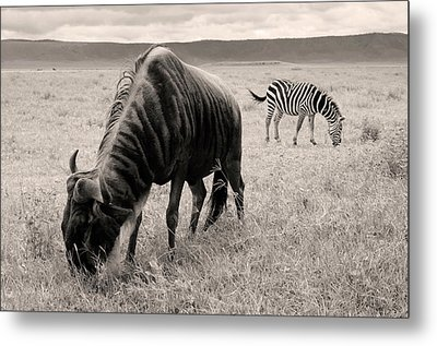 Wildebeest And Zebra Metal Print