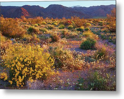 Metal Print featuring the photograph Wildflower Meadow At Joshua Tree National Park by Ram Vasudev