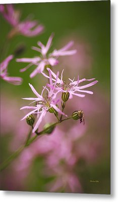 Wildflowers - Ragged Robin Metal Print by Christina Rollo