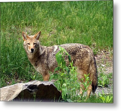 Wiley Coyote Metal Print by Marty Koch