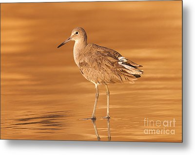 Willet Metal Print by Clarence Holmes