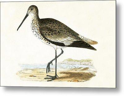 Willet Metal Print by English School
