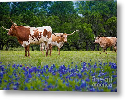 Willow City Longhorns Metal Print by Inge Johnsson