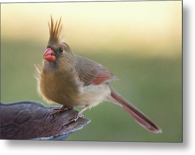 Metal Print featuring the photograph Wind Blown Cardinal  by Terry DeLuco
