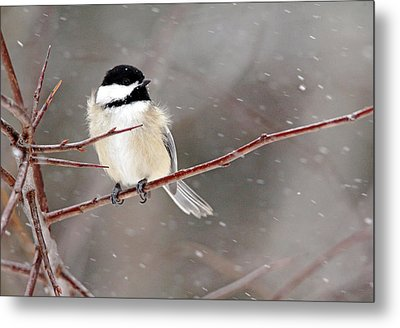 Windblown Chickadee Metal Print by Debbie Oppermann