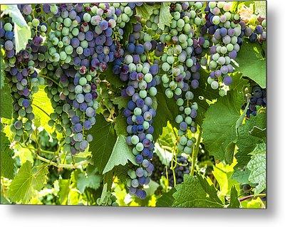 Wine Grape Colors Metal Print