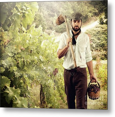 Winegrower While Harvest Grapes Metal Print