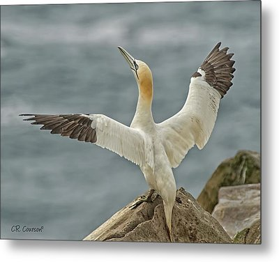 Wing Flap Metal Print by CR Courson