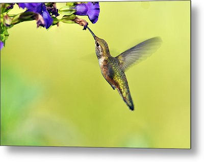Winged Beauty A Hummingbird Metal Print