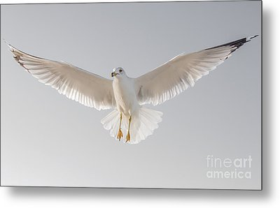 Metal Print featuring the photograph Winged Messenger by Chris Scroggins