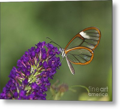 Wings Like Glass Metal Print by Ruth Jolly