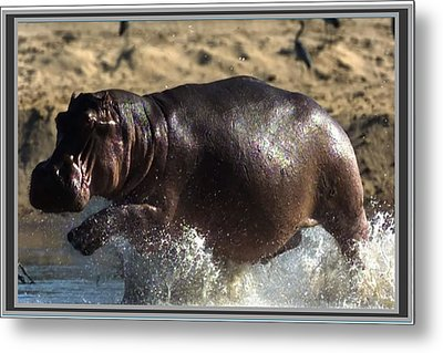 Winner Of The Herd Harem Hippopotamus Metal Print by Navin Joshi