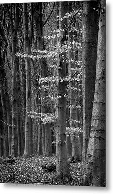 Winter Beech Metal Print